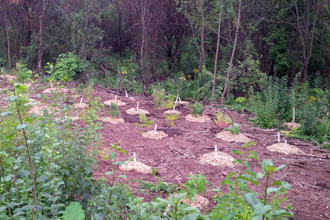 Newly planted trees in woodland